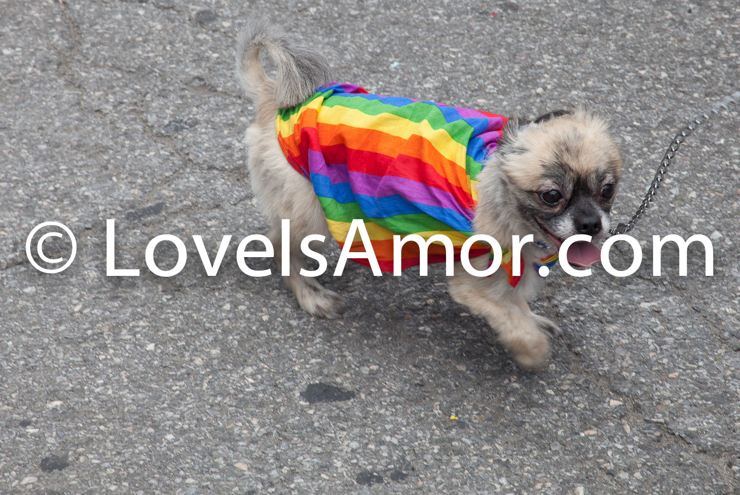 6/24/2018. New York City – The NYC Pride March celebrated 49 years. Dog wearing a rainbow (gay) t-shirt. Photo by Javier Soriano/LoveIsAmor.com