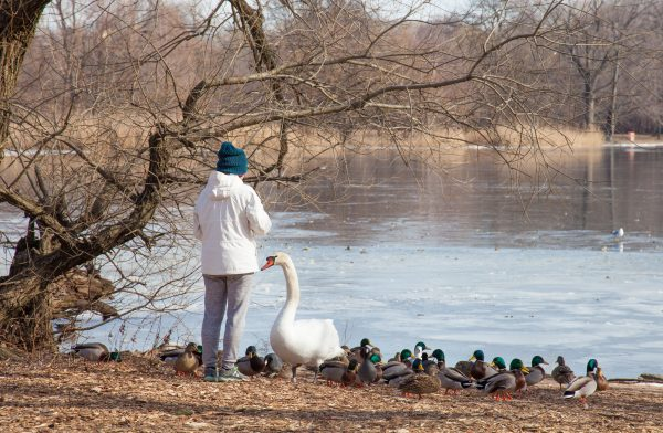 Brooklyn, New York City. Saturday, February 2, 2019 - A person feeding ducks and a swan in Prospect Park. Credit: Photo by LoveIsAmor.com