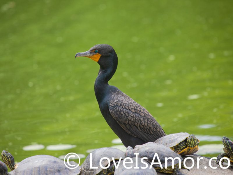 Wednesday, June 2, 2021. New York City - Double-crested cormorant and some turtles in Prospect Park, Brooklyn; New York City. Photo by Javier Soriano/www.JavierSoriano.com