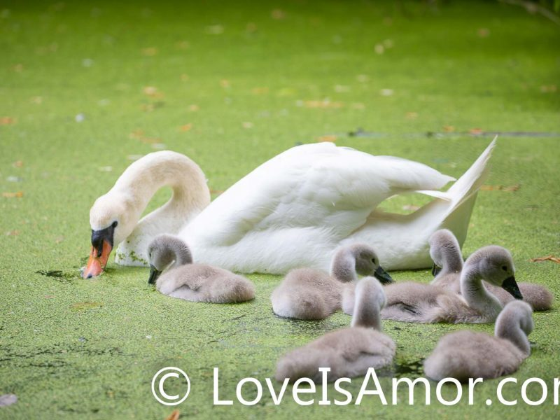 Wednesday, June 2, 2021. Brooklyn, New York City – Mother swan with her 6 babies (cygnets) in Prospect Park. Photo by Javier Soriano/www.LoveIsAmor.com